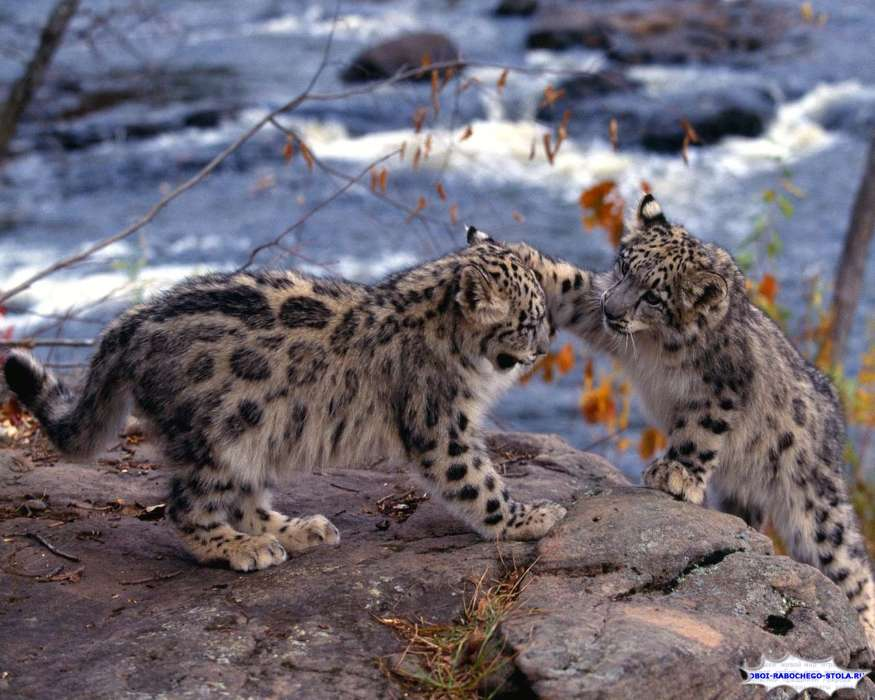 Animals, Snow leopard